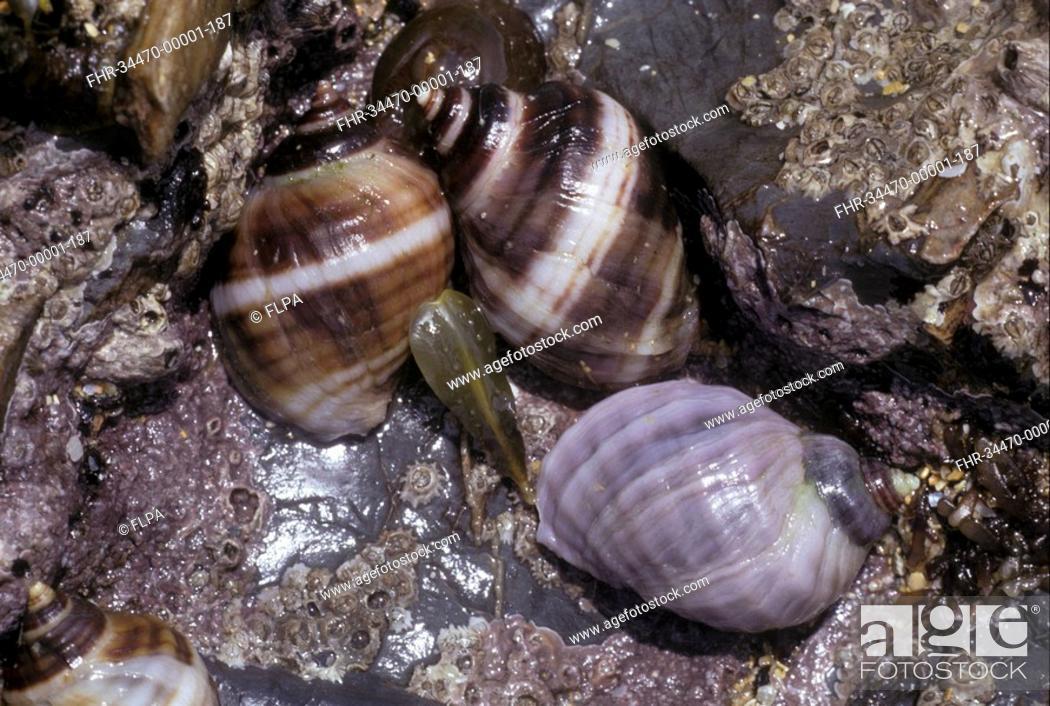 Stock Photo: Shell - Dog Whelk Nucella lapillus close-up of group on sea shore / North Cornwall.