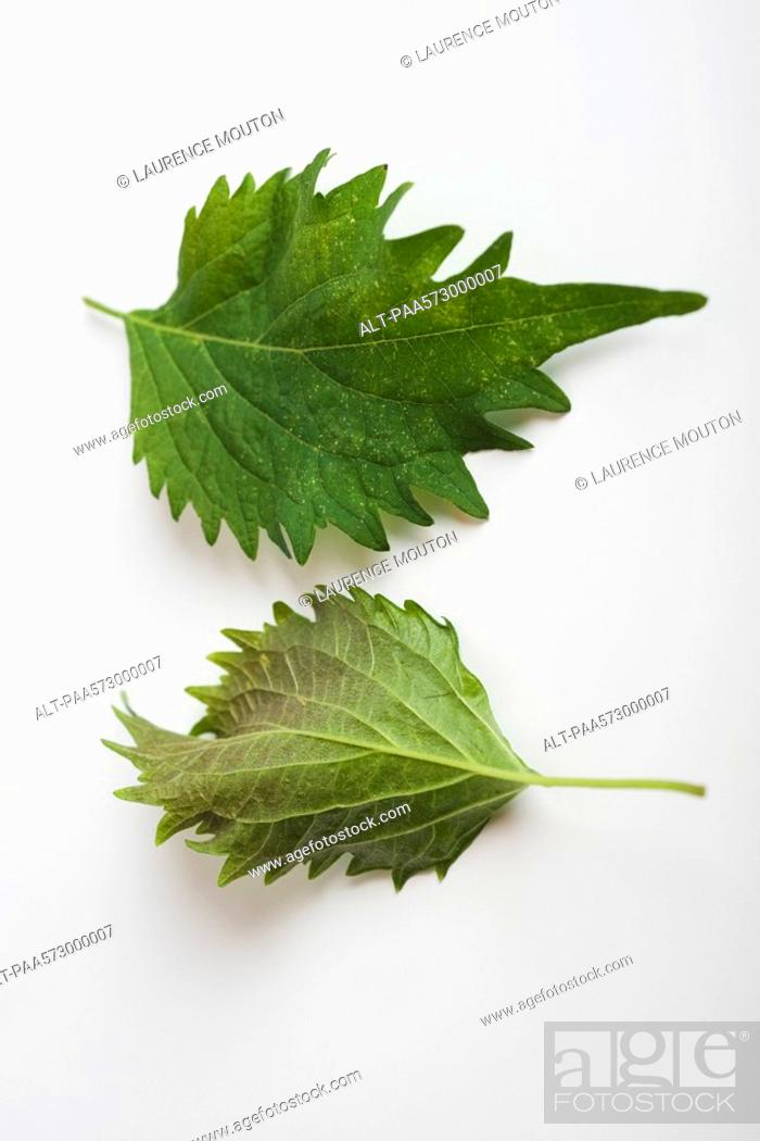 Stock Photo: Perilla also known as Shiso.