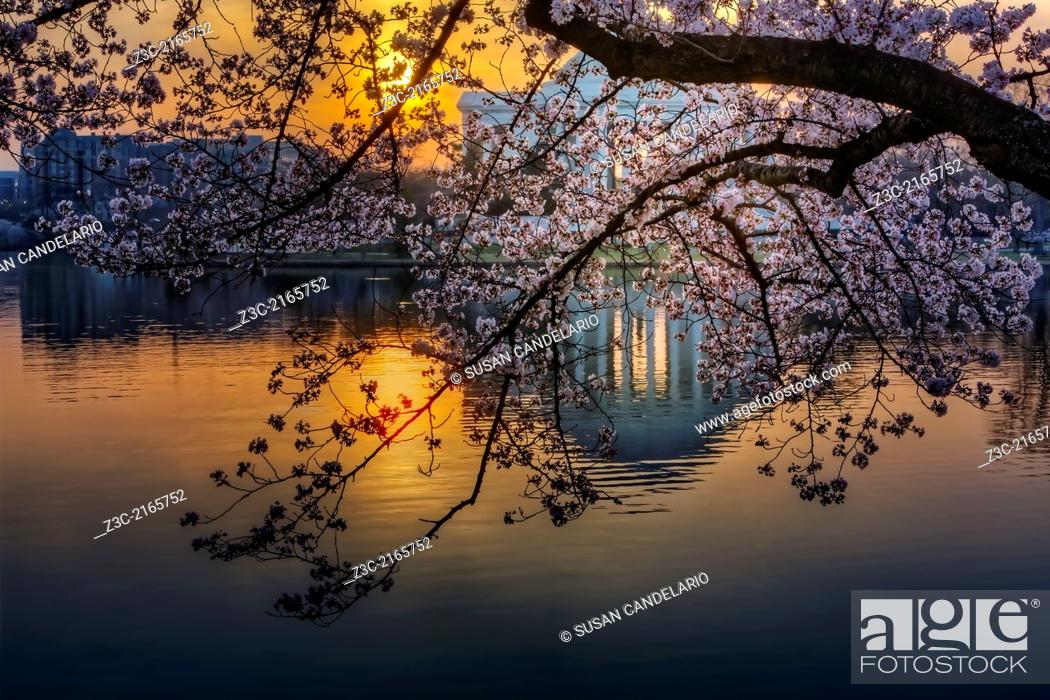 Imagen: A view to sunrise and the Thomas Jefferson Memorial and it's reflection thru the Yoshino Cherry Tree Blossoms from the Tidal Basin in Washington DC during.