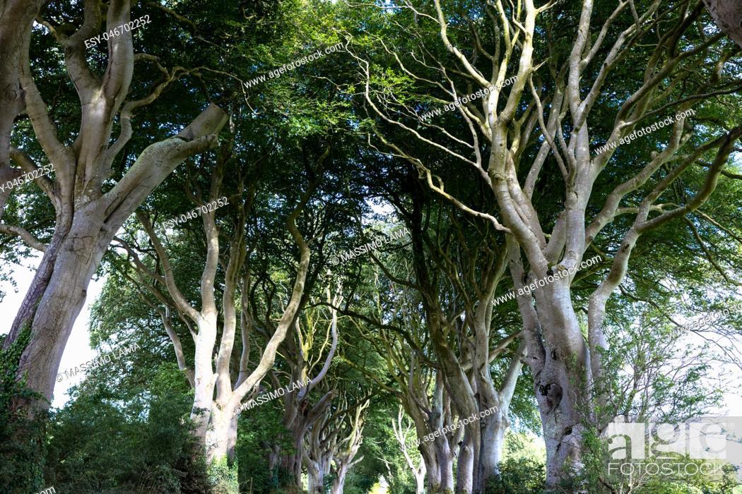 Imagen: The Dark Hedges near Ballymoney, Antrim in Northern Ireland.