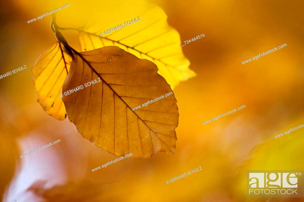 Stock Photo: Leaves of Common Beech Trees at Autumn (Fagus sylvatica), Schleswig-Holstein, Germany.
