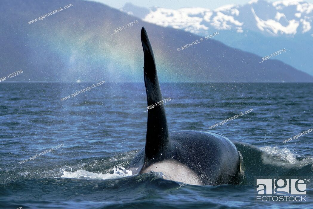 Stock Photo: Transient Bull Orca Orcinus orca - also called Killer Whale - travelling note rainbow in blow in Stephen's passage, Southeast Alaska, USA  Pacific Ocean.