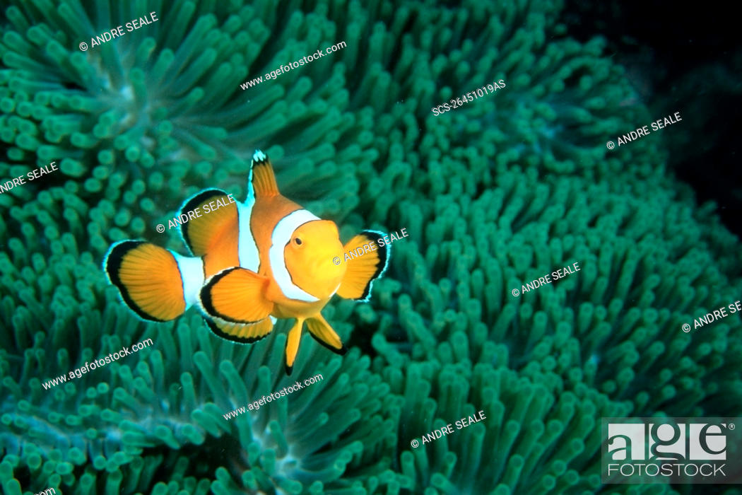 Stock Photo: False clown anemonefish, Amphiprion ocellaris, Similan Islands, Thailand Andaman Sea.