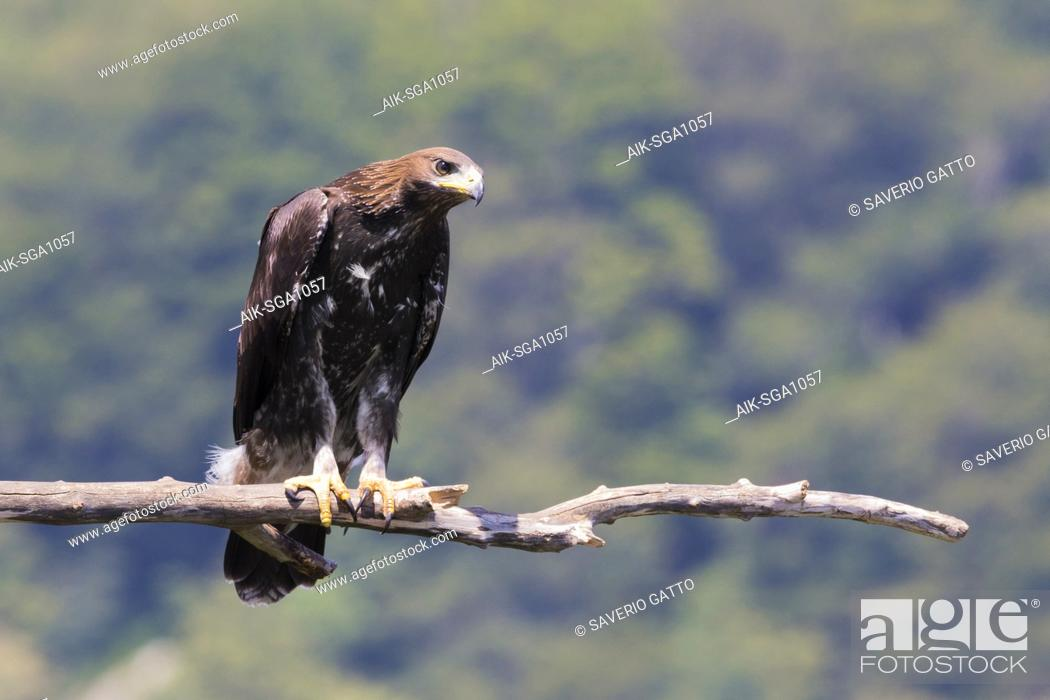 Stock Photo: Golden Eagle (Aquila chrysaetos), juvenile perched on a dead branch.
