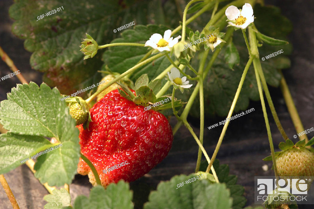 Stock Photo: Fruit, Strawberry, agriculture, Brazil.