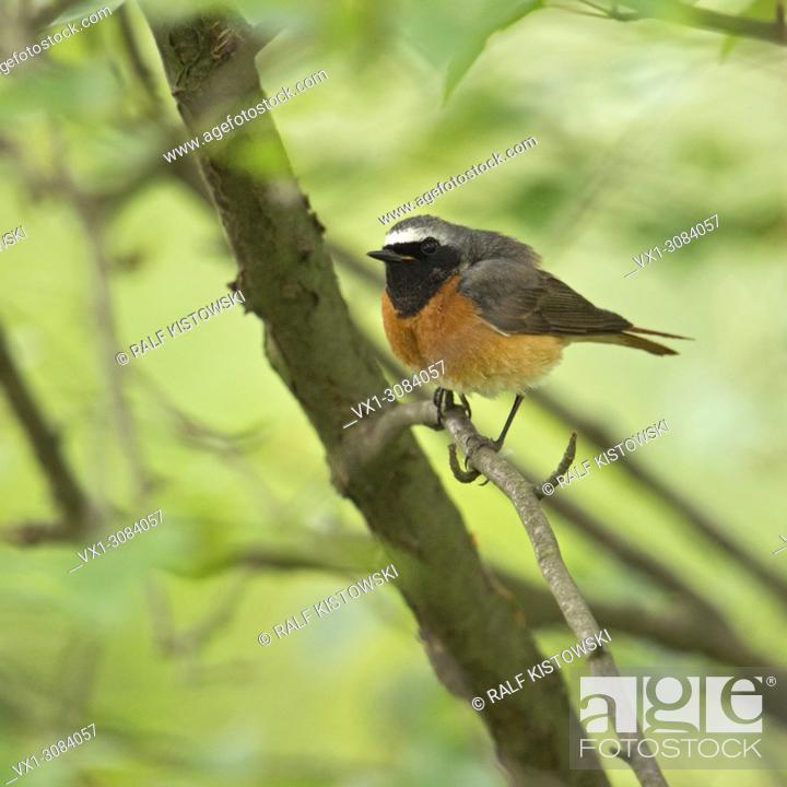 Stock Photo: Common Redstart ( Phoenicurus phoenicurus ), colorful male in its breeding dress, perched on a branch in the undergrowth, wildlife, Europe..