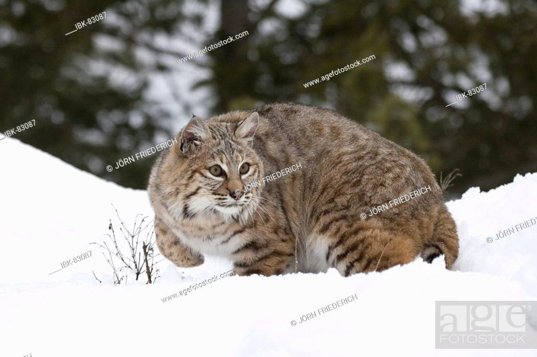 Stock Photo: Bobcat in the snow.