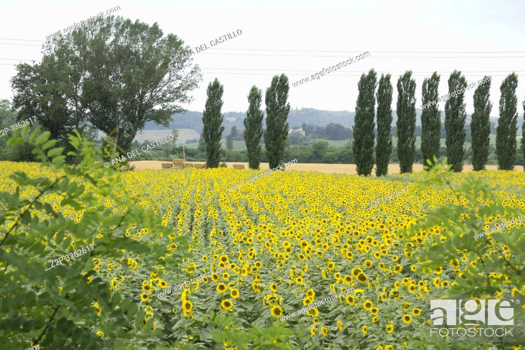 Stock Photo: Sunflower field in Buonconvento Tuscany Italy.