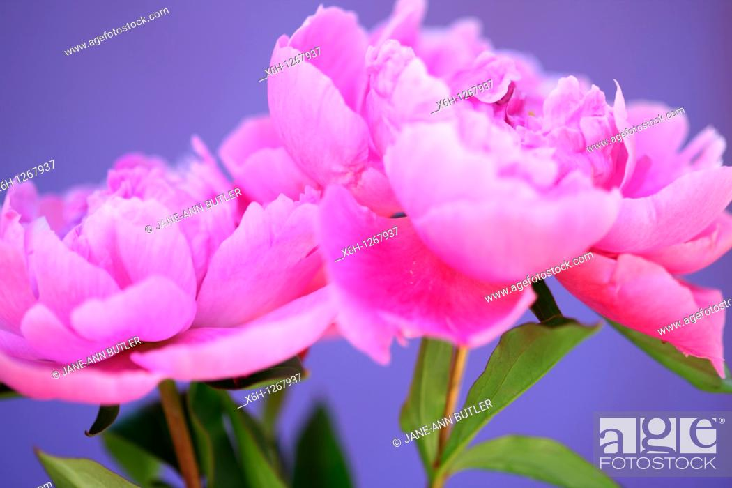 Stock Photo: Two Lovely Fragrant Sarah Bernhardt Pink Peonies.