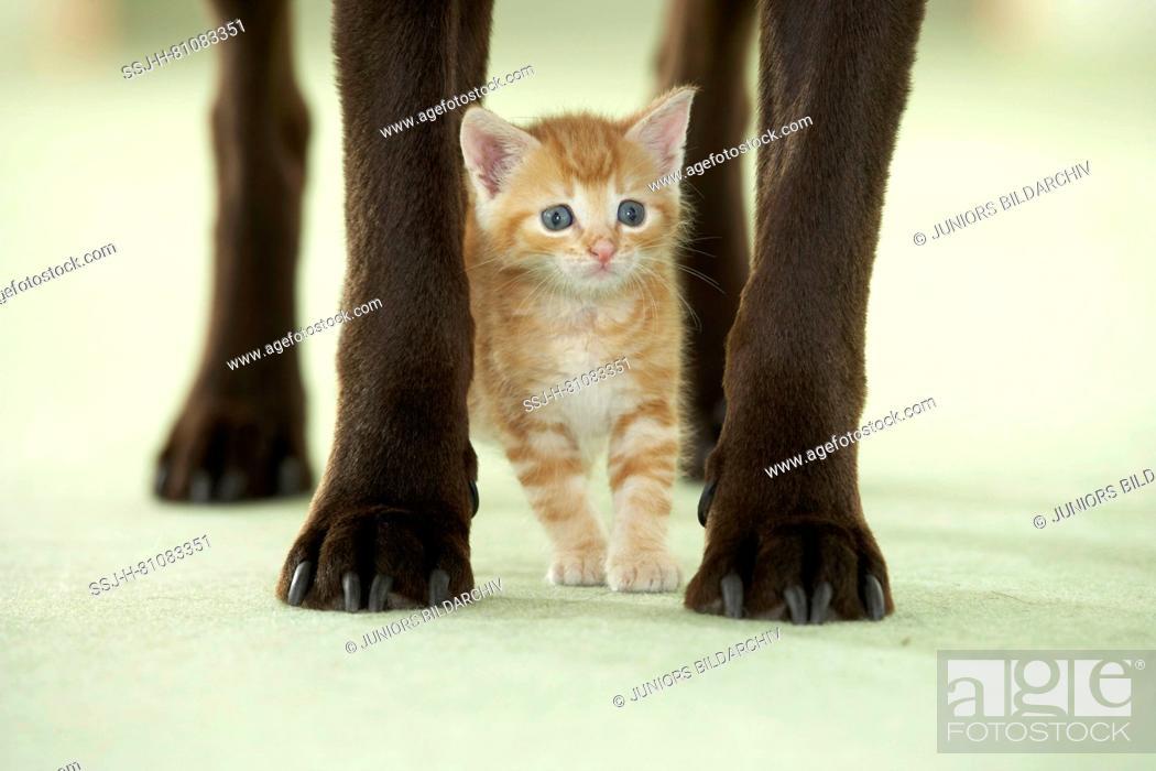 Stock Photo: Friendship between dog and cat: Kitten stsnding.