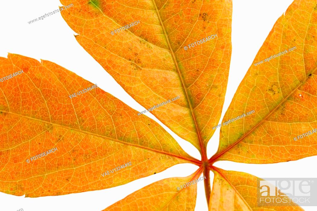 Stock Photo: autumn, close-up, CLOSE, brown, alfred.