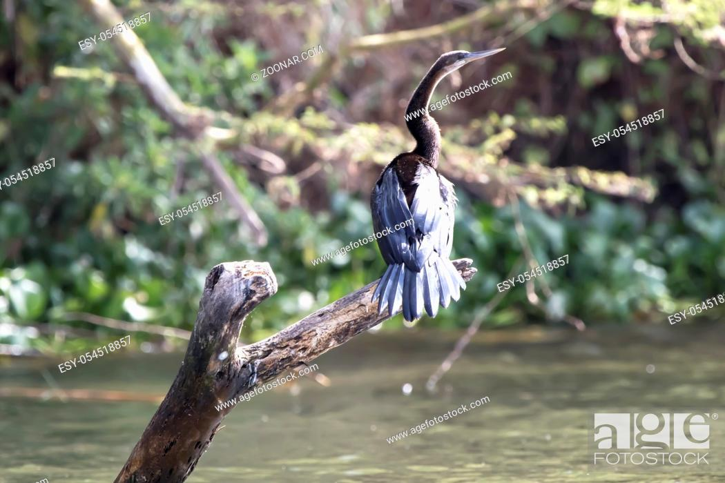Stock Photo: african darter that sits on a dry, submerged tree on Lake Victoria.