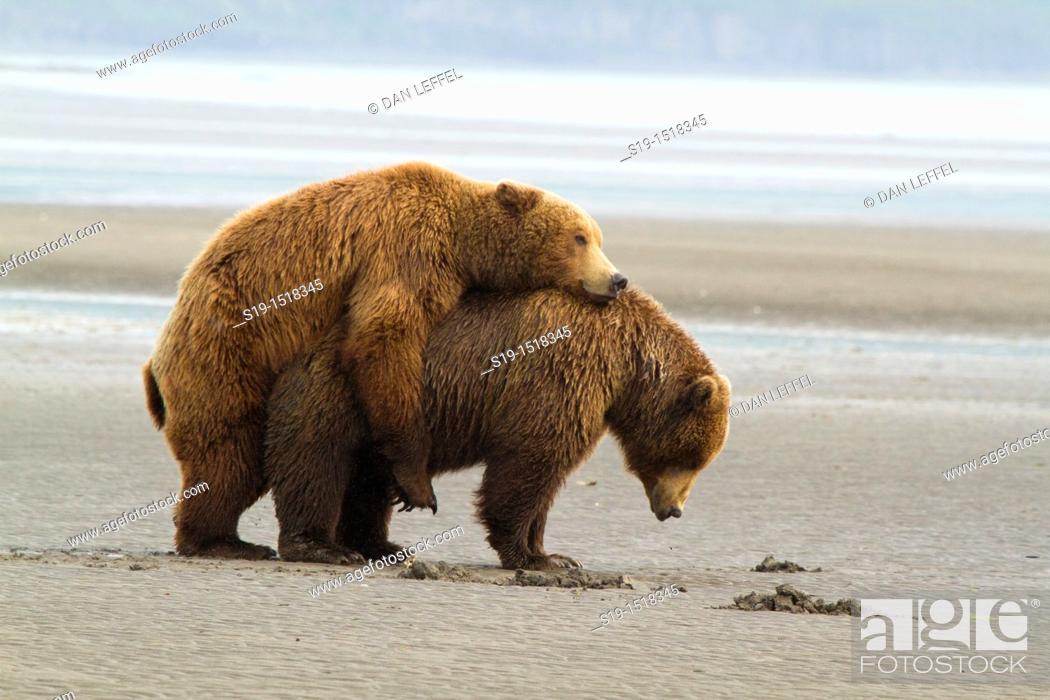 Stock Photo: Copulating Grizzly Bears, Katmai National Park, Alaska, USA.