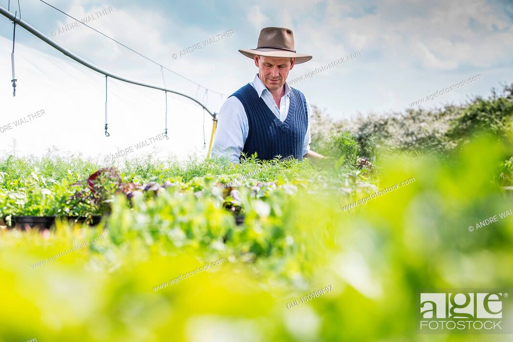 Stock Photo: Farmer harvesting plants.
