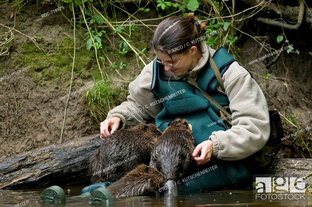 Stock Photo: Woman andEuropean Beavers, Rosenheim, Bavaria, Germany, Europe / (Castor fiber).