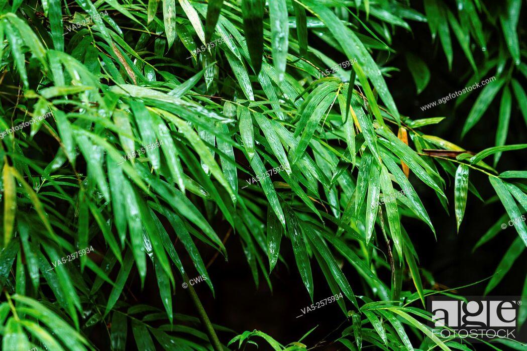 Imagen: Yibin, Sichuan province, China - Close up of fresh bamboo leaves at Shunan Bamboo Sea national park.