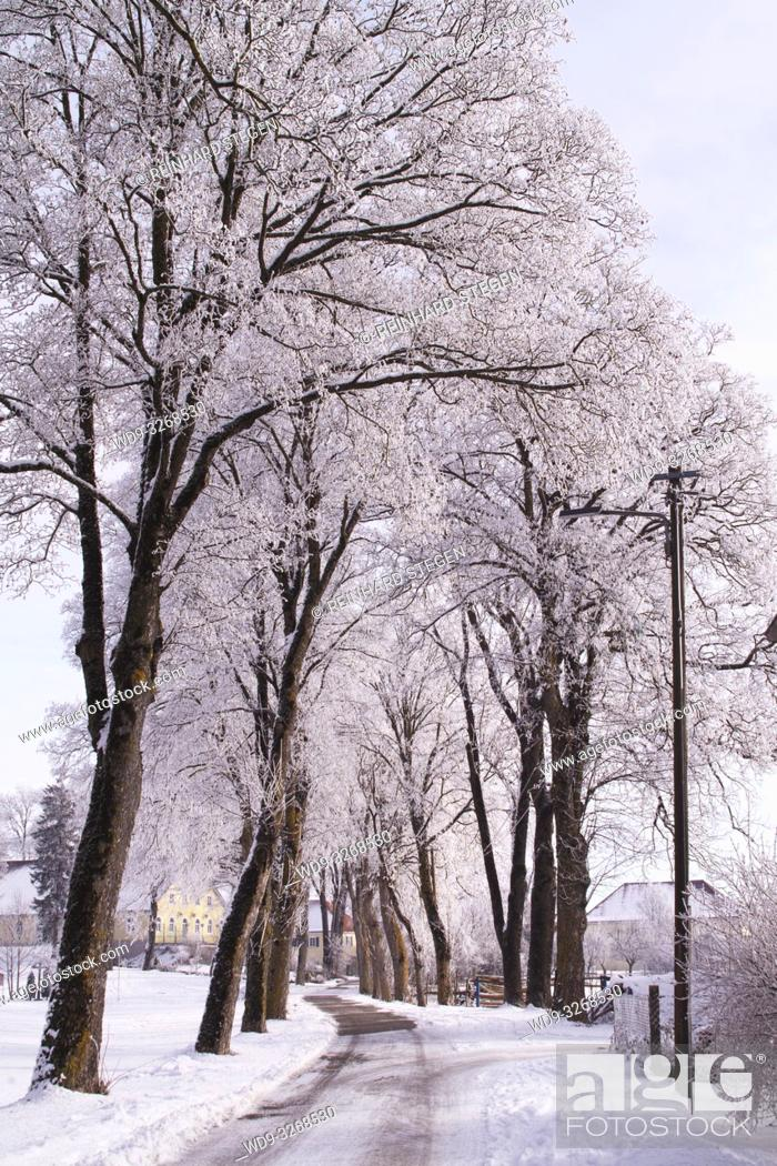 Imagen: alley of trees in winter. Augsburg area, Bavaria, Germany.