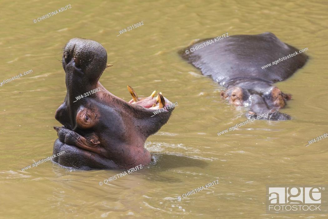 Stock Photo: Wild hippopotamus (Hippopotamus amphibus) displaying dominance in a river, Masai Mara National Reserve, Kenya, Africa.