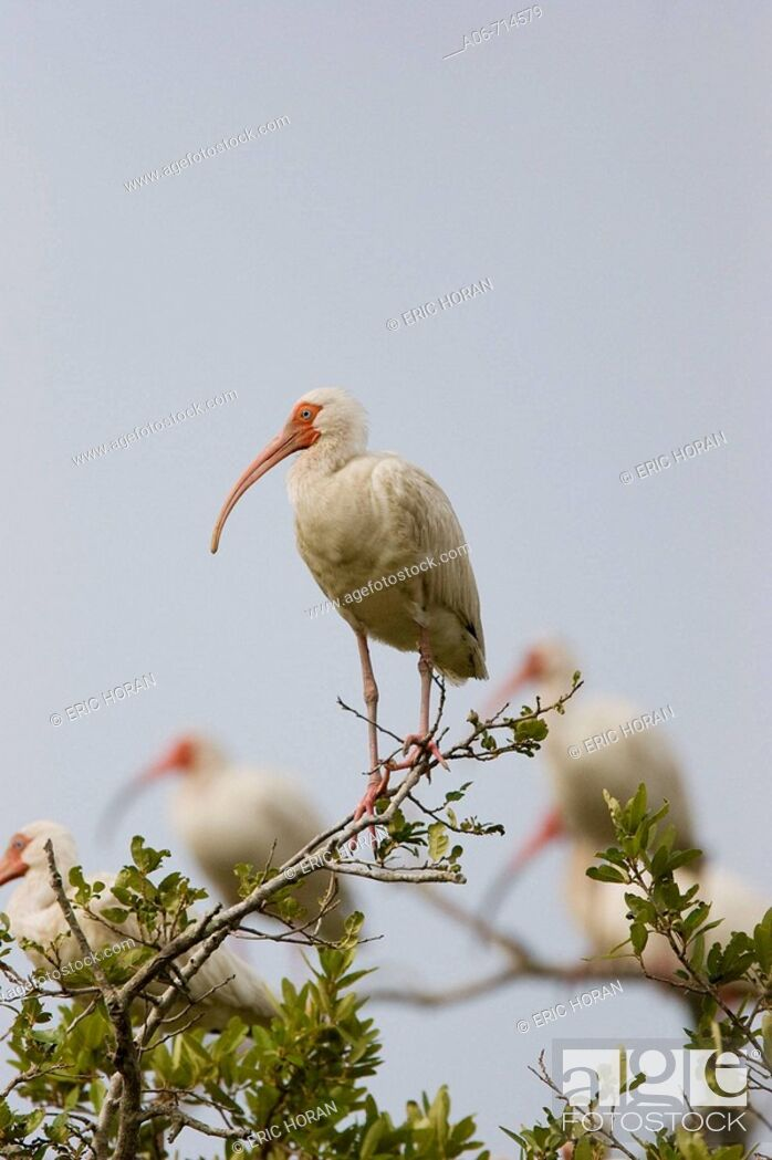Stock Photo: American white ibis (Eudocimus albus).