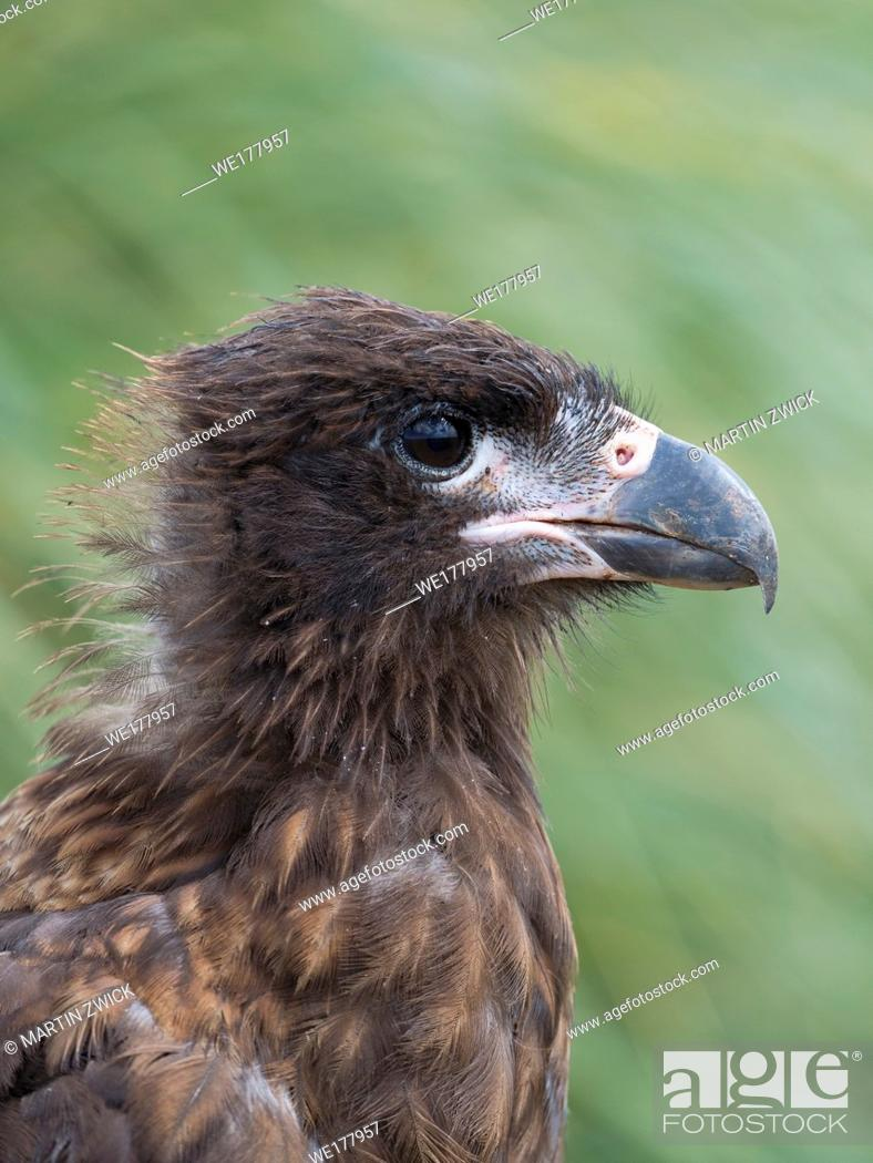 Stock Photo: Juvenile with typical pale skin in face. Striated Caracara or Johnny Rook (Phalcoboenus australis), protected, endemic to the Falklands and highly intelligent.