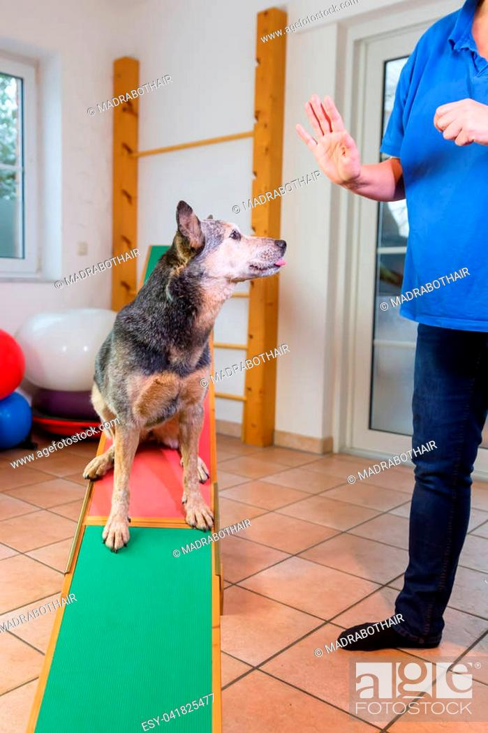 Stock Photo: woman works with an Australian Cattledog on a seesaw in an animal physiotherapy office.