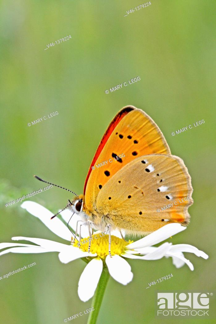 Stock Photo: Scarce Copper, Lycaena virgaureae on daisy, Vicia hirsuta  Underwings with distinct markings  The white irregular line on back wing identifies it  The Scarce.