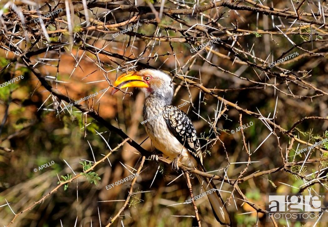 Stock Photo: Southern Yellow-billed hornbill, Tockus leucomelas, Madikwe Game Reserve, South Africa.