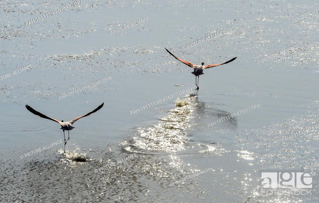 Stock Photo: 06 November 2019, Turkey, Didim: Flamingos fly at Bafasee. The water is an inland lake on the west coast of Turkey, formed from a former estuary.
