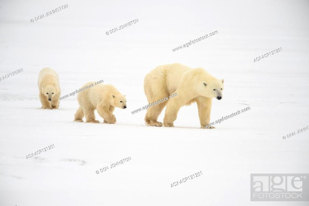 Stock Photo: Polar Bear (Ursus maritimus) Mother and two Cubs of the Year (COY).