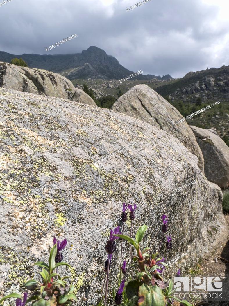 """Stock Photo: Cantueso y formaciones graníticas. Valle de la Barranca en la Sierra de Guadarrama y dentro del """"""""Parque regional de la cuenca alta del Manzanares"""""""" (reserva de."""