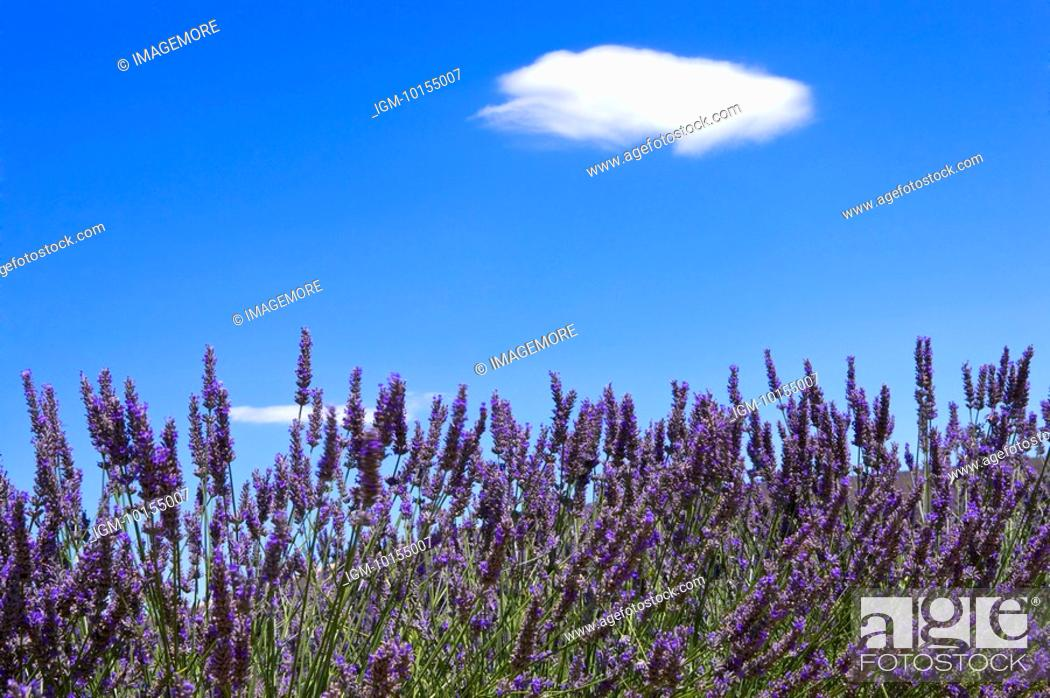 Stock Photo: Lavender Field, France, Plateau De Valensole, Provence-Alpes-Cote d'Azur.
