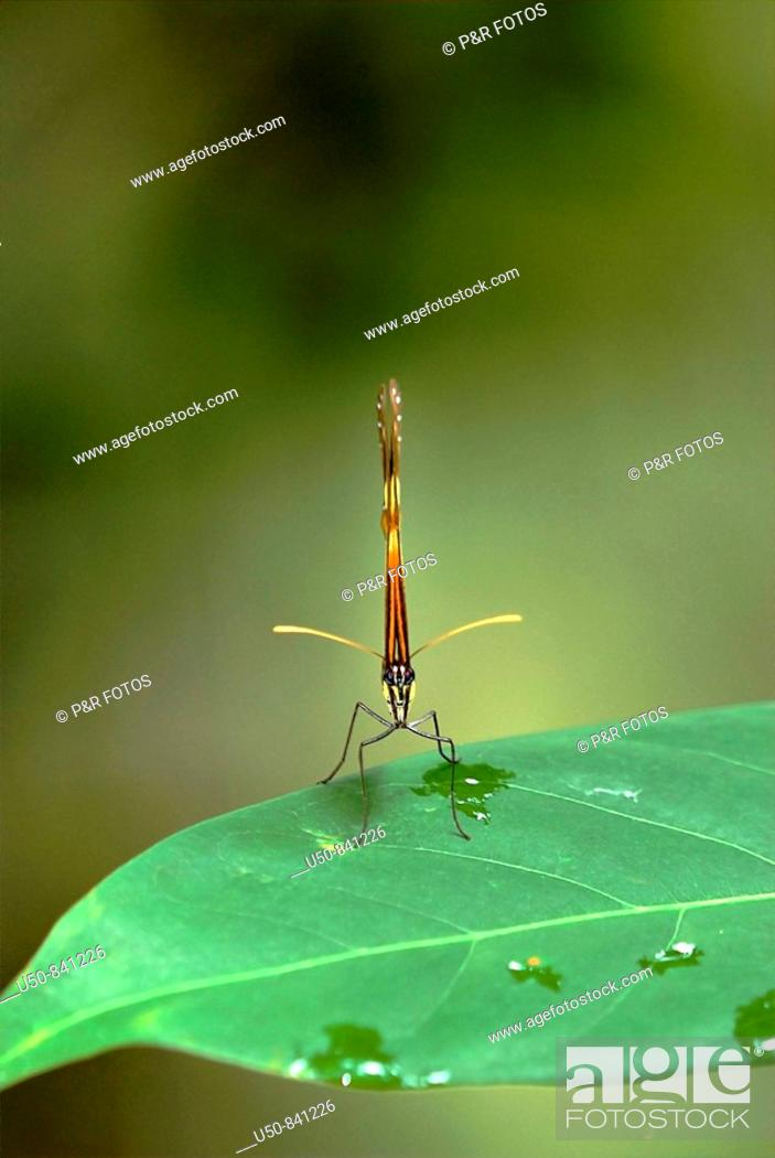 Stock Photo: Passion-vine butterfly on leaf, Heliconius sp , Nymphalidae, Parque Ambiental Chico Mendes, Rio Branco, Acre, Brazil.