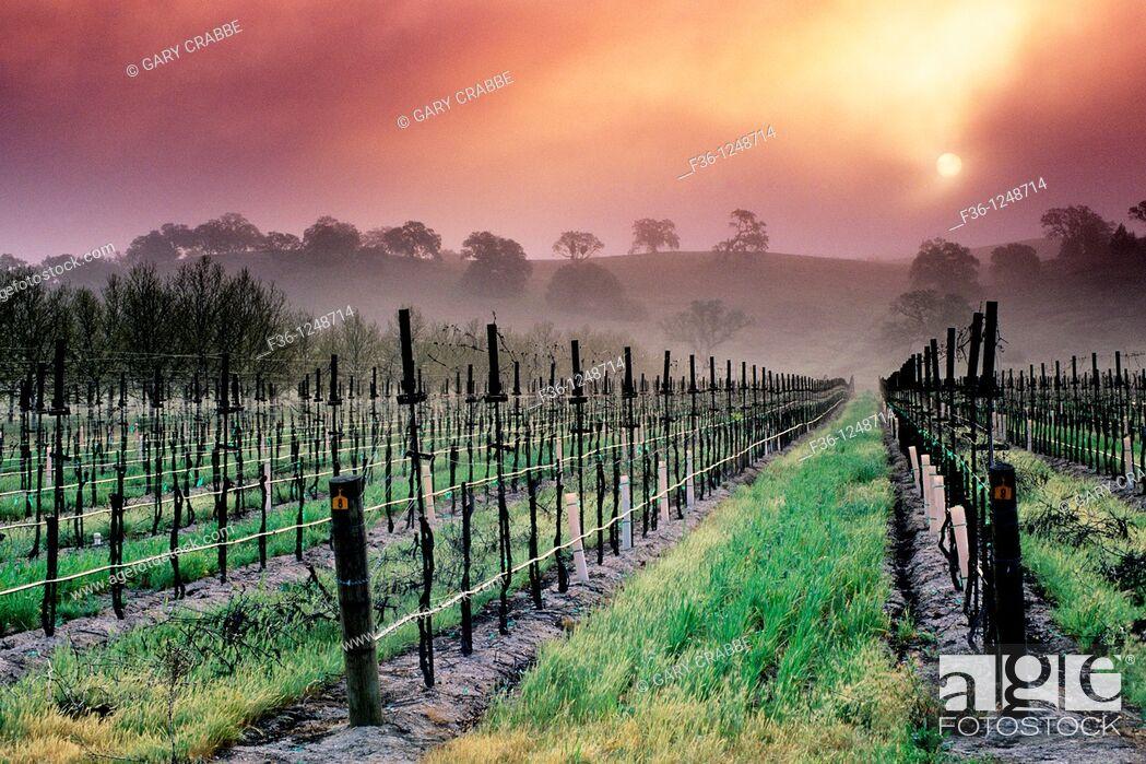 Stock Photo: Fog at sunrise near Clautiere Vineyard, Penman Springs Road, Paso Robles San Luis Obispo County, California.