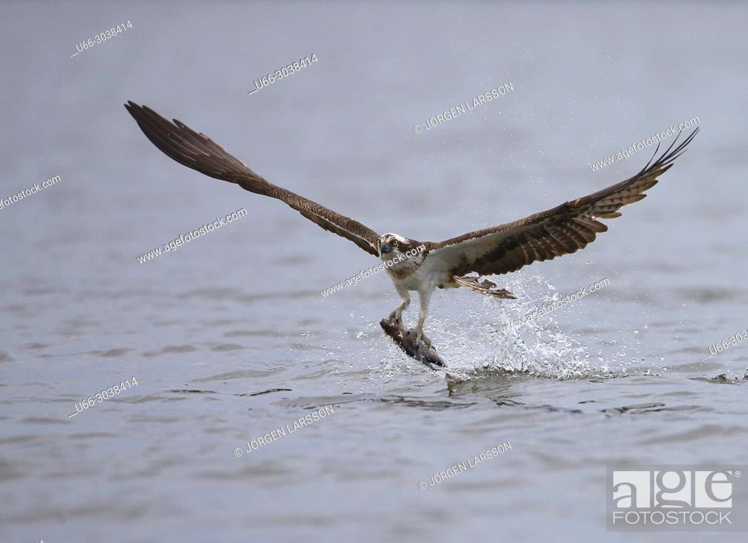 Stock Photo: Osprey fishing. Lake Malaren, Sodermanland, Sweden.