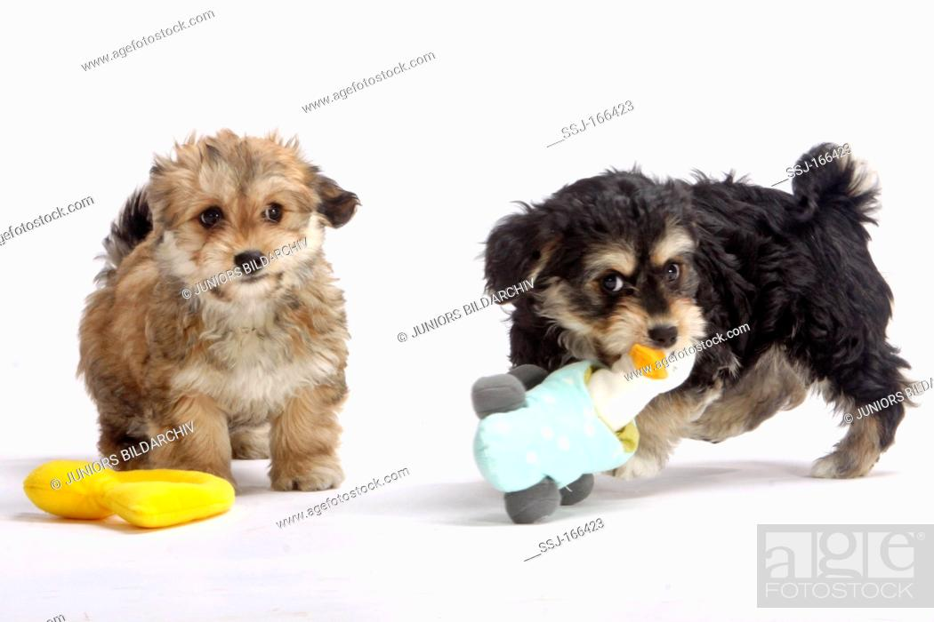Havanese Canis Lupus Familiaris Two Puppies Playing With A