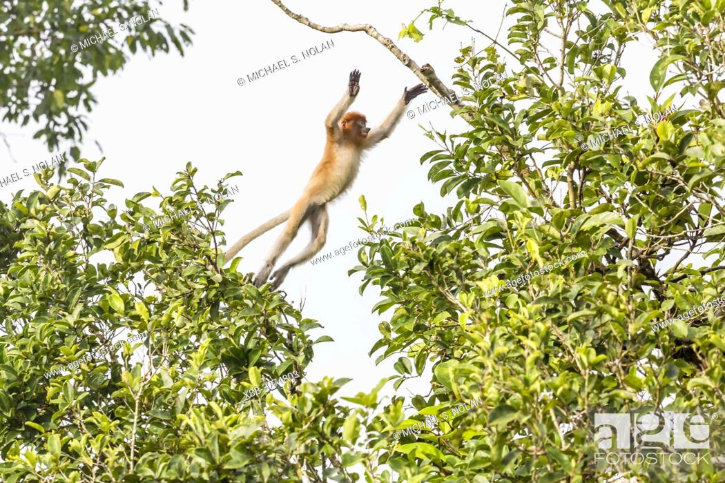 Stock Photo: Young proboscis monkey, Nasalis larvatus, leaping, Tanjung Puting National Park, Borneo, Indonesia.