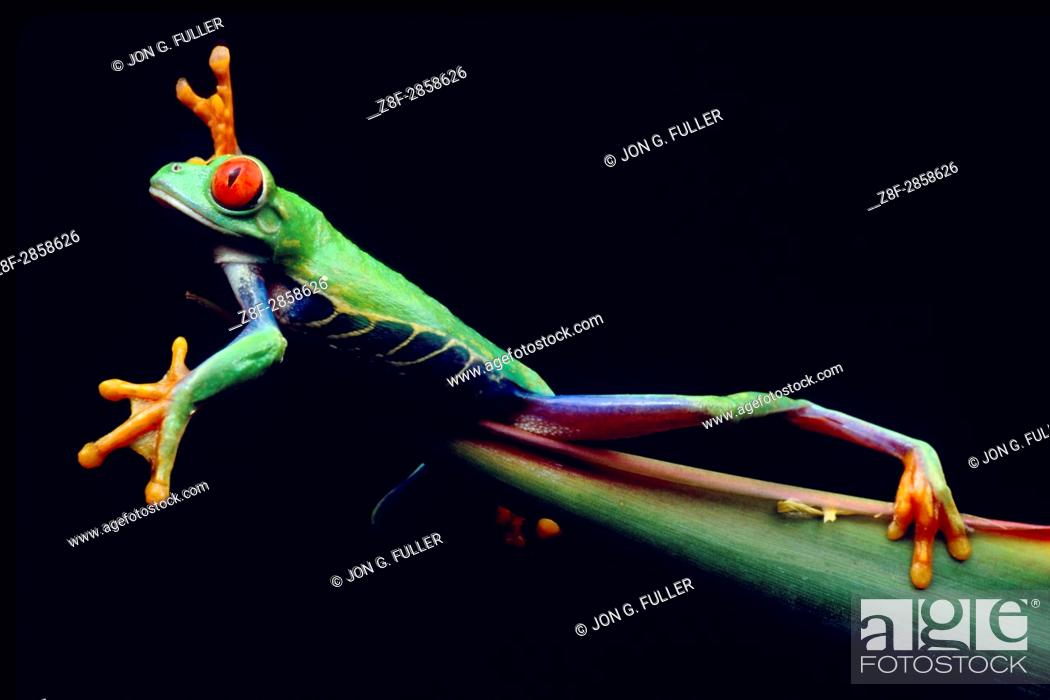 Photo de stock: The Red--eyed Tree Frog or Red-eyed Leaf Frog, Agalychnis callidryas, lives in the rainforests of Neotropical America from Mexico to Columbia.