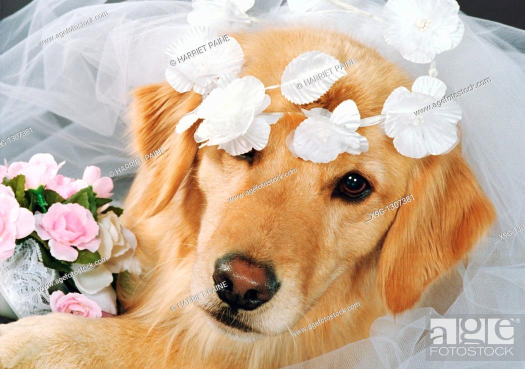 Stock Photo: Golden Retriever: breed of dog.