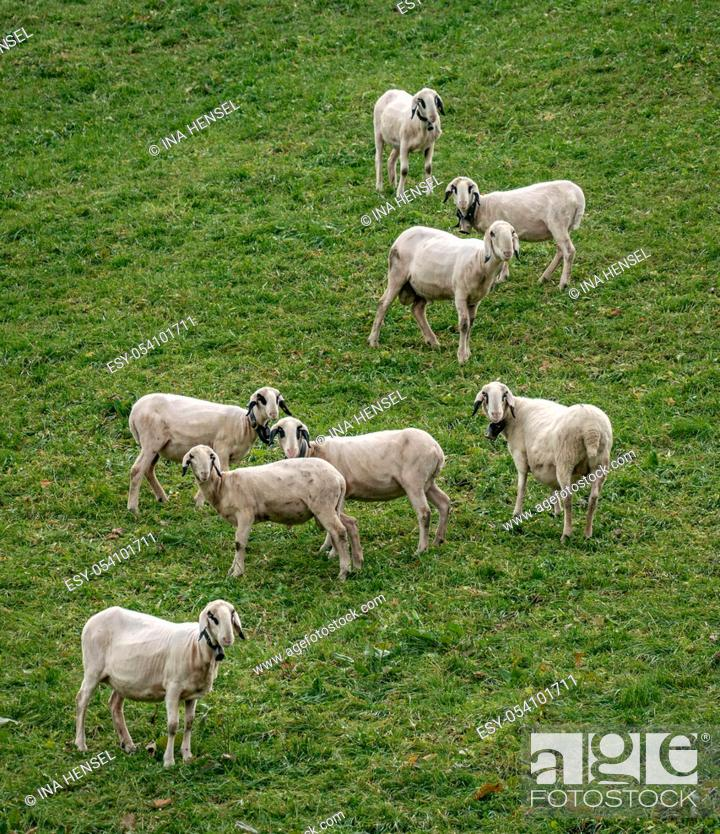 Stock Photo: A group of the rare and protected breed Villnoesser spectacles sheep (Brillenschaf) in Italy on a pasture in St Maddalena looking curiously.