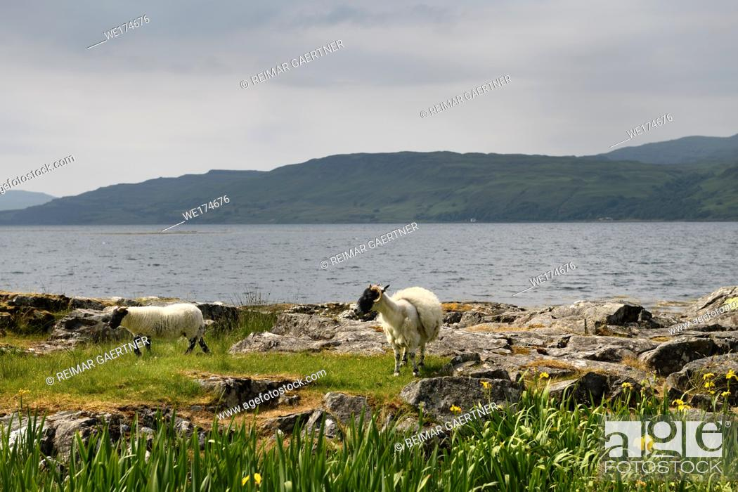 Stock Photo: Scottish Blackface sheep lamb and mother shedding fleece at the shore of Lach Na Keal on Isle of Mull Scotland UK with yellow flag Iris flowers.