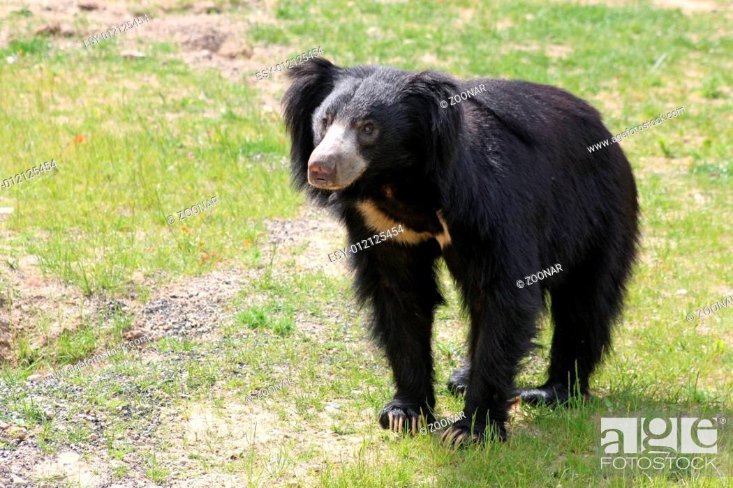 Stock Photo: jungle bear.