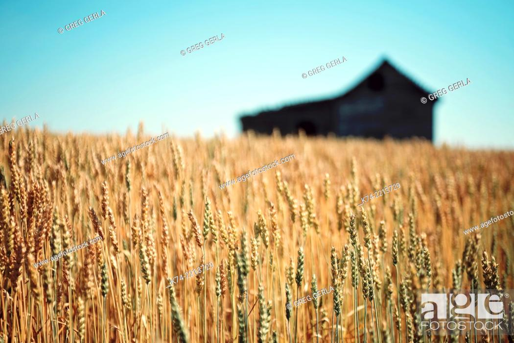 Stock Photo: Old abandoned farmhouse in wheatfield.