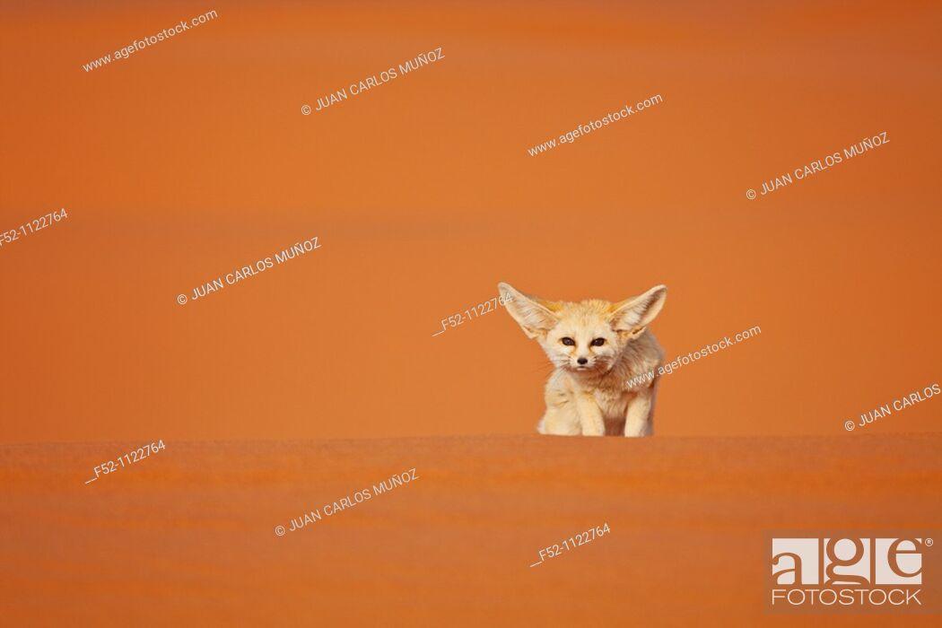 Photo de stock: Fennec Fox (Vulpes zerda), Sahara Desert, Merzouga, Morocco.