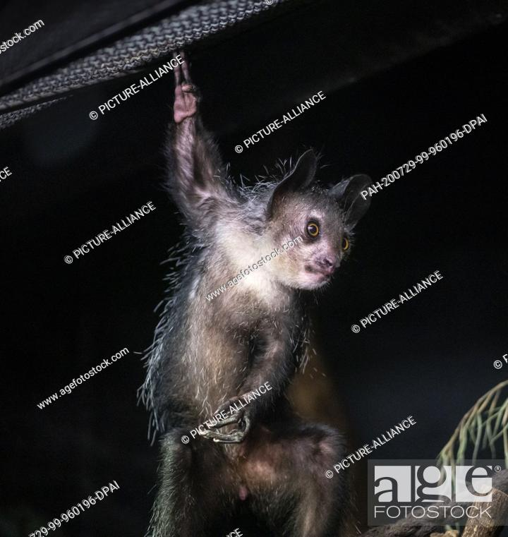 Stock Photo: 28 July 2020, Hessen, Frankfurt/Main: A finger animal from Madagascar hangs on two fingers near one of the few light sources in the Grzimek House at Frankfurt.