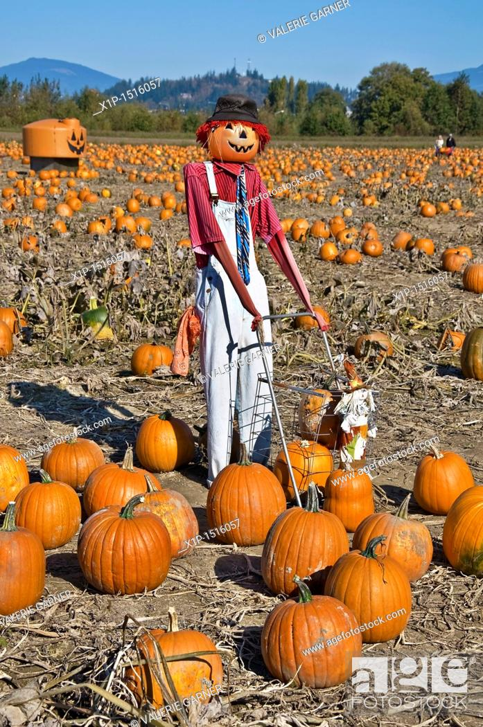 Stock Photo: This vertical autumn season stock photo shows a scarecrow with a hat, in a fall pumpkin patch on a clear sunny day.