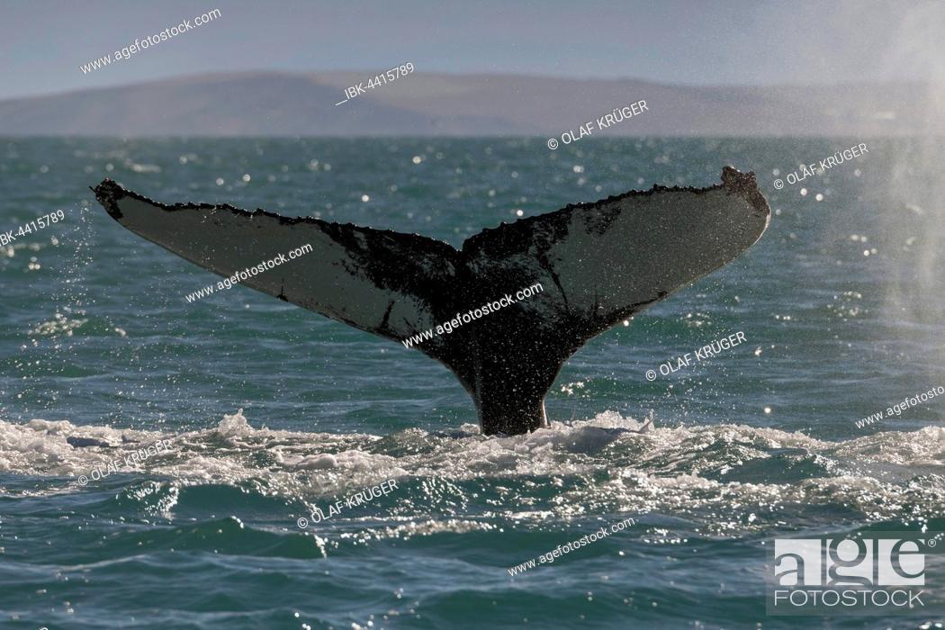 Stock Photo: Tail, flukes, diving humpback whale (Megaptera novaeangliae), Eyjafjörður, Iceland.