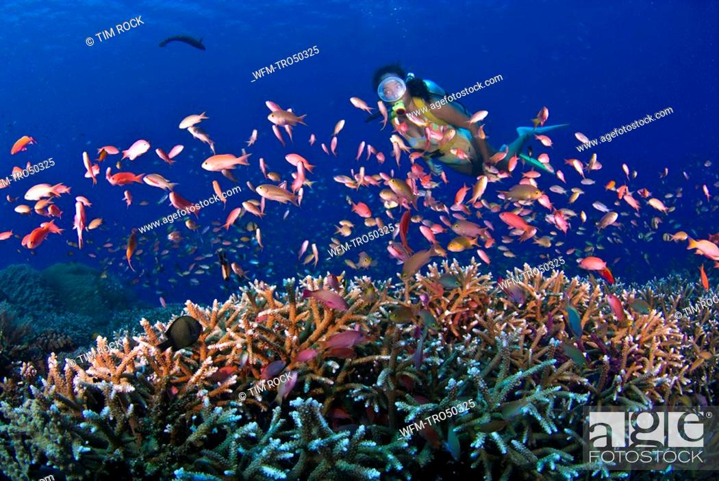 lyretail anthias over staghorn corals pseudanthias squamipinnis