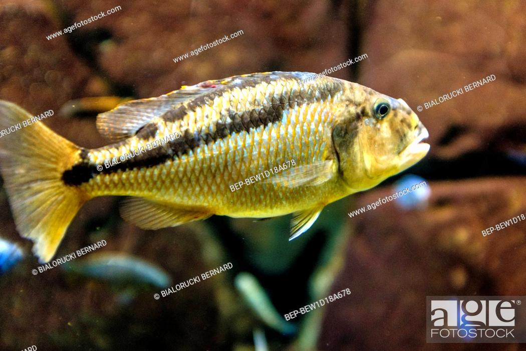 Protomelas Spilonotus Ryba Z Jeziora Malawi W Akwarium