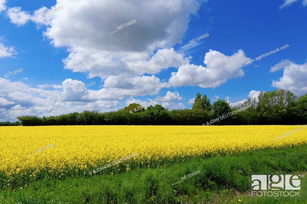Stock Photo: Field of full of rapeseed (Brassica napus) in Schleswig-Holstein.