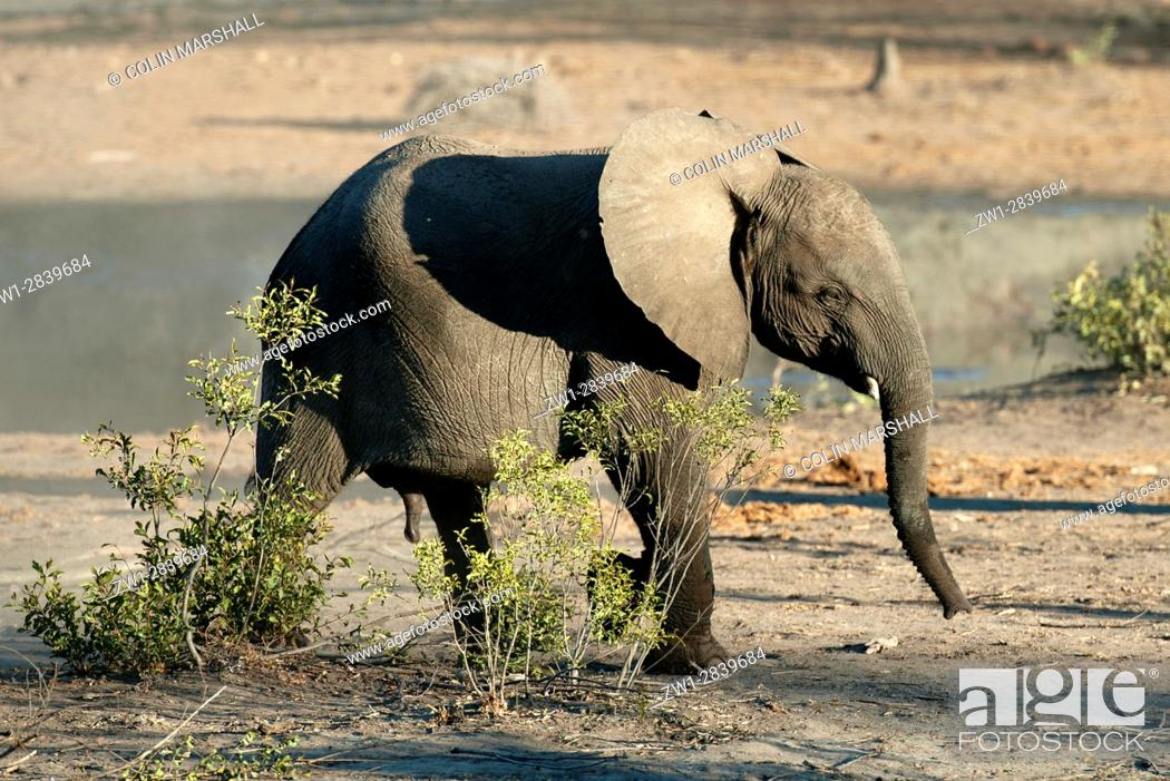 Stock Photo: Young Elephant (Loxodonta africana) walking, Talamati Bushveld Camp, Kruger National Park, Transvaal, South Africa.